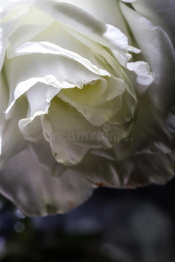 Love, rose, flower, macro, white, shine, shadow, curls, yellow background, yellow, texture, design. Light, brush, beauty, is beautiful, contrast, delicate stock image