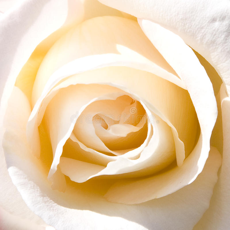 Love of rose stock image