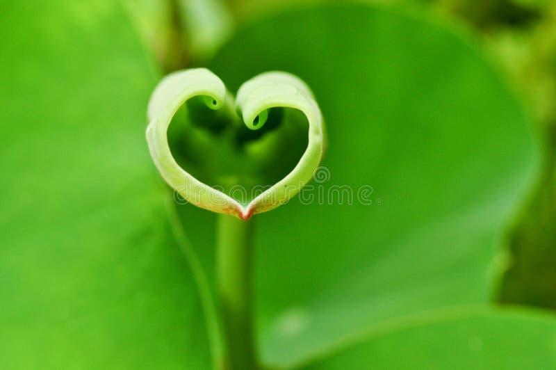 Love shape lotus leaf. Romantic love shape lotus leaf stock photos