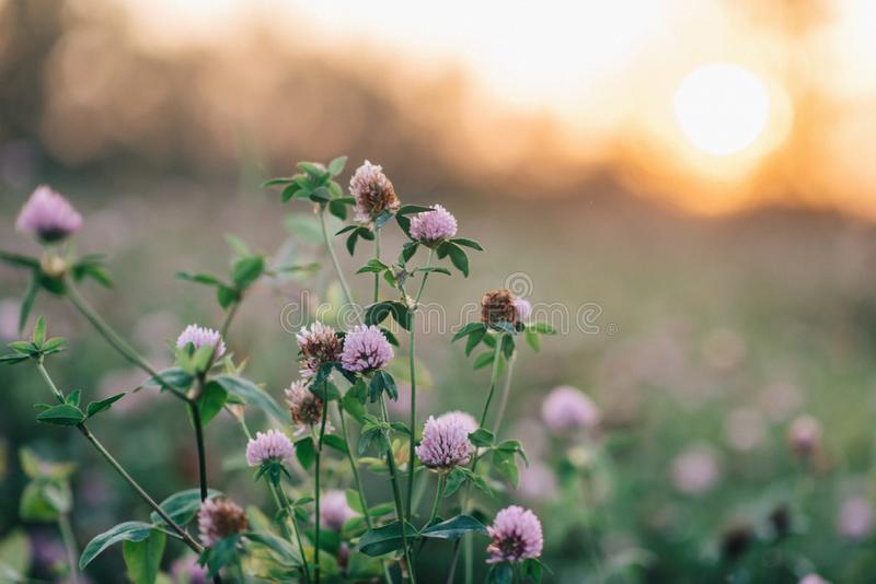 Field in bloom: summer nature royalty free stock image