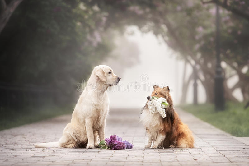 The love story of two dogs. The sheltie gives a bouquet of flowers Retriever stock images