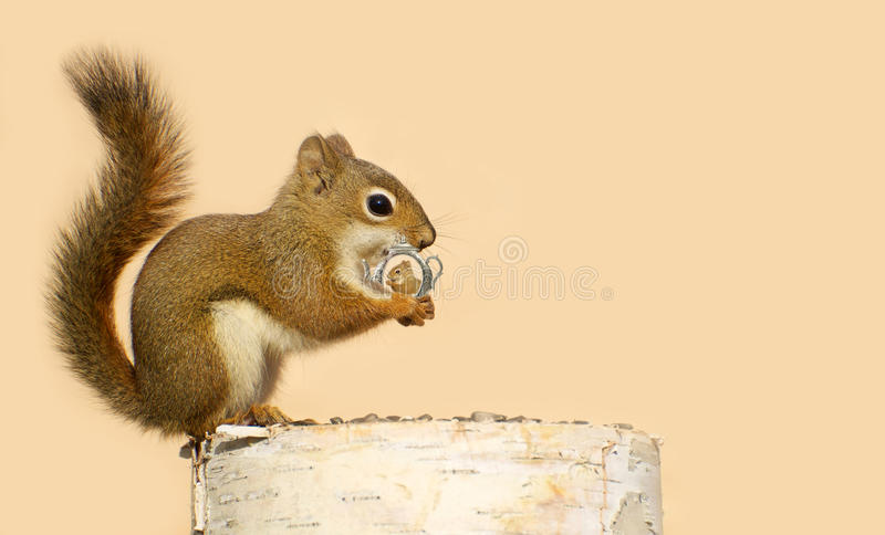 Download Love struck squirrel. stock photo. Image of cute, romance - 26861754