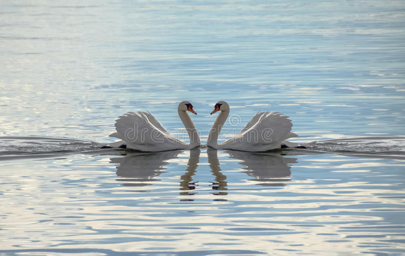Love Swans - Swans Making A Heart royalty free stock photo