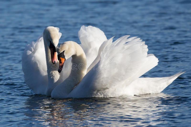 Love Swans. Two Love Swans show their affection for each other stock photo