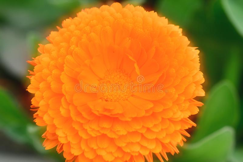 Plants With Daisy-Like Flowers in Orange color yellow and other colors. We love them--we love them not--we really do love them! Daisies are the classic stock images