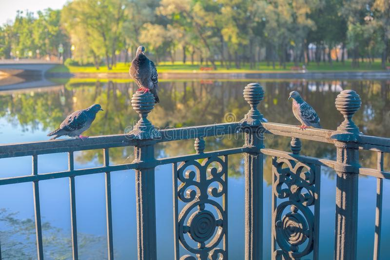 Love triangle at birds. Pigeons: one male and two females royalty free stock image