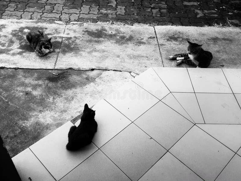 Love triangle. Cats blackandwhite pets street straycat straycats stock photo