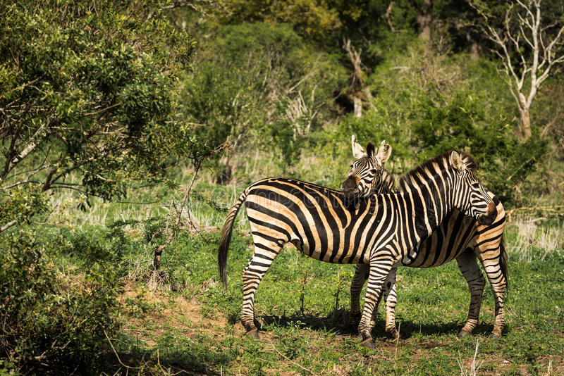 Love between two zebras royalty free stock photo