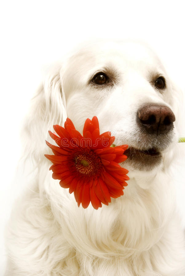 Love for you. Golden retriever dog with red gerber daisy like a concept for love of Valentine holiday and wishes for birthday over white background