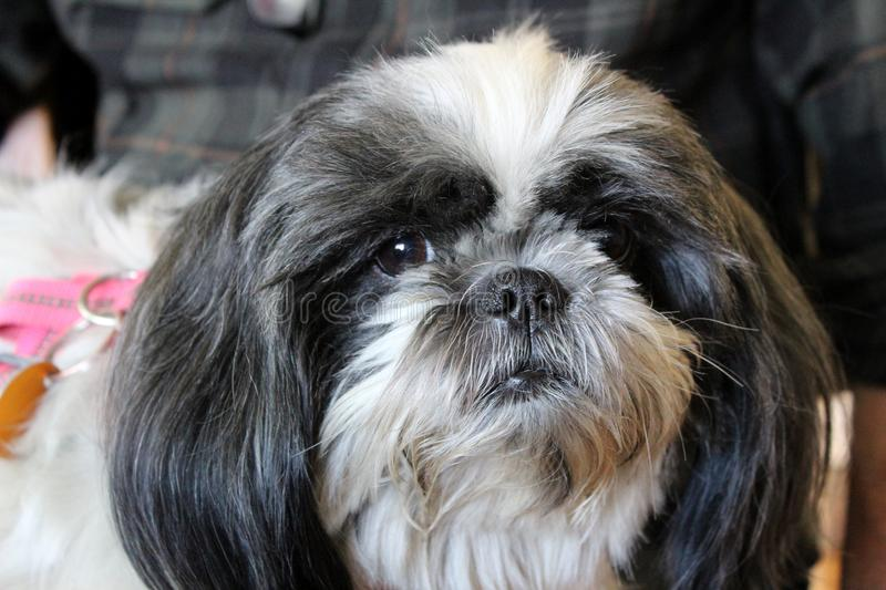 Loveable face of puppy with long hair, brown eyes and pug nose. Adorable face of household pet with long hair, bright eyes and pug nose sitting on master`s lap royalty free stock photography
