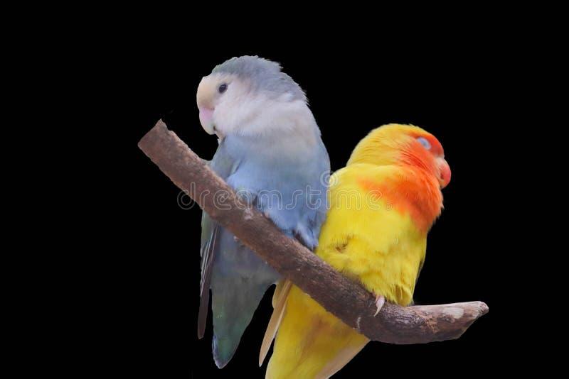 Lovebird που απομονώνεται στο μαύρο υπόβαθρο ελεύθερη απεικόνιση δικαιώματος