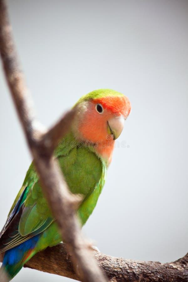 Lovebird lizenzfreie stockfotografie