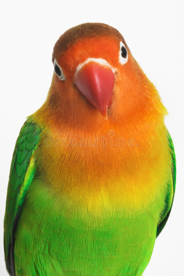 Lovebird photos stock
