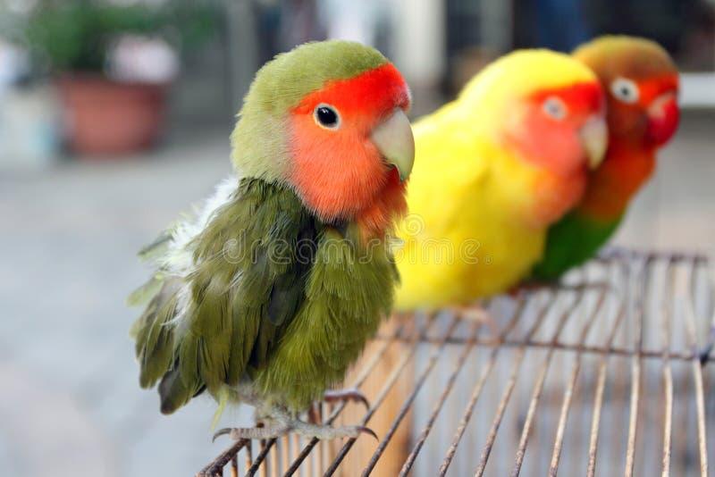 Lovebird royalty free stock photography