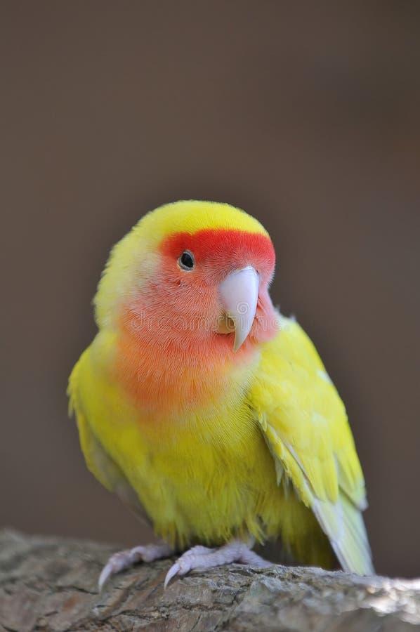 Lovebird. obrazy stock