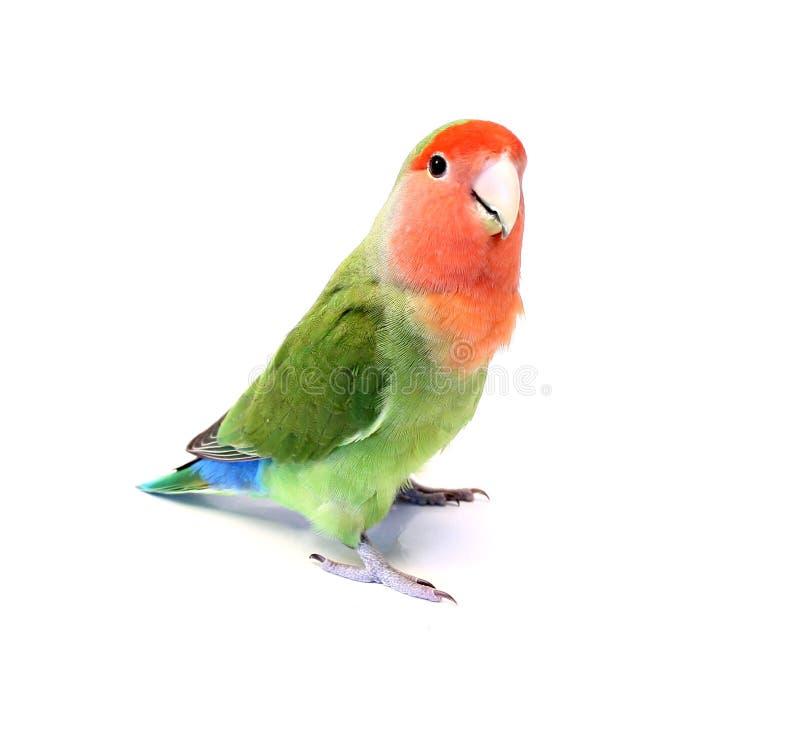 Lovebird lizenzfreie stockbilder