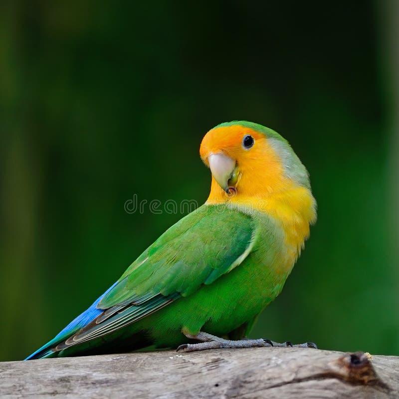 Lovebird fotografia royalty free