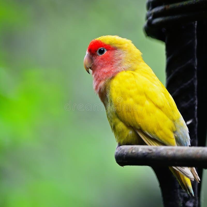 Lovebird fotografia stock