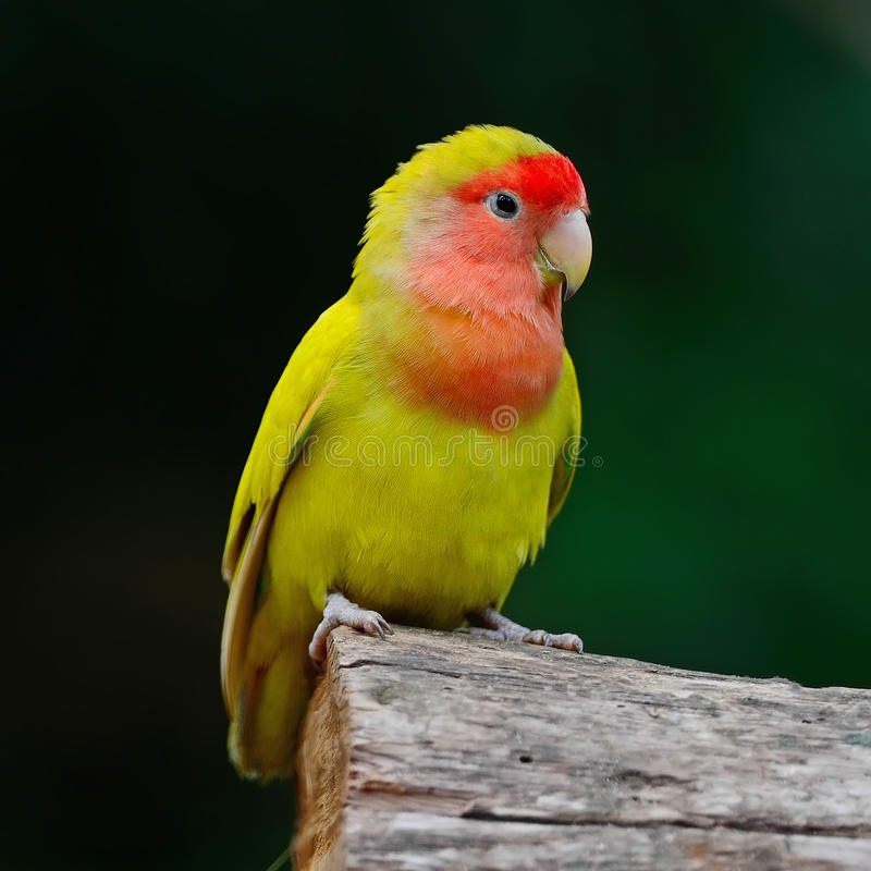 Lovebird zdjęcie royalty free