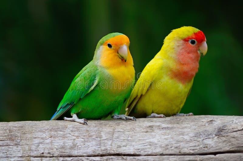 Lovebird obraz royalty free
