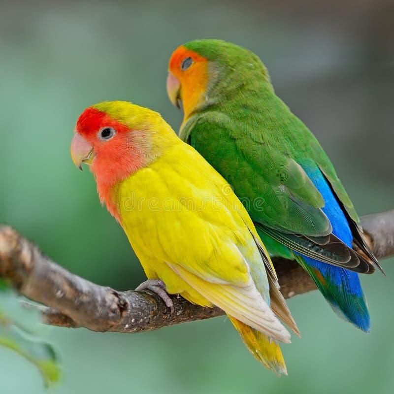Lovebird zdjęcia royalty free