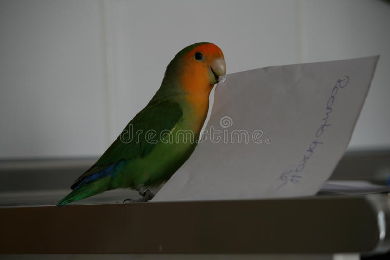 lovebird obrazy stock
