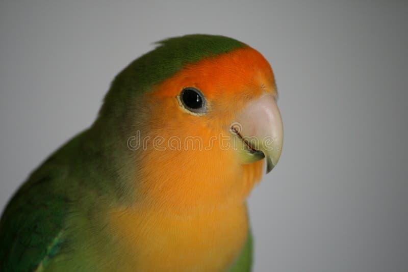 lovebird zdjęcia stock