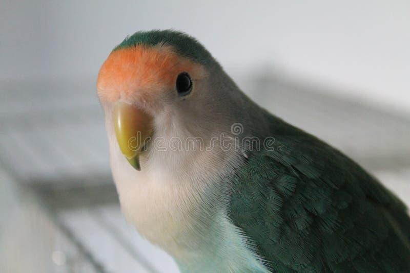 lovebird royaltyfri fotografi