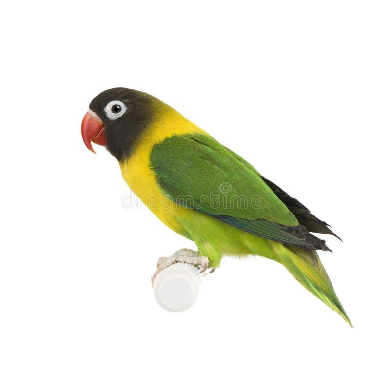 lovebird agapornis замаскировал personata стоковые фотографии rf