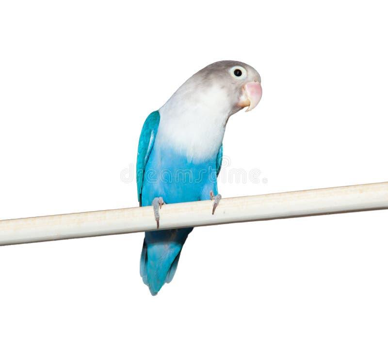 Lovebird (Agapornis roseicollis błękit przekształcać się) fotografia stock