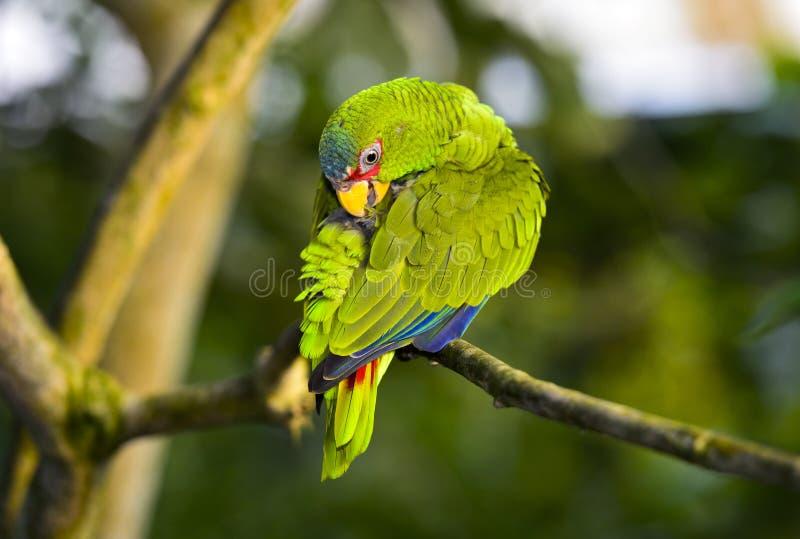 Lovebird, Agapornis spec , papuga fotografia stock
