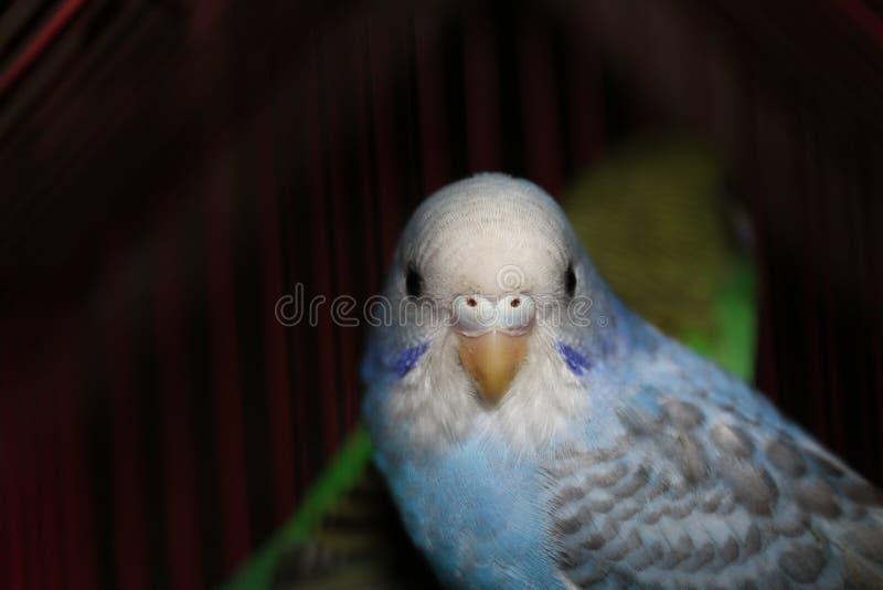 Lovebird błękitny i biały Piękny żeński lovebird pozuje przy kamerą zdjęcie stock