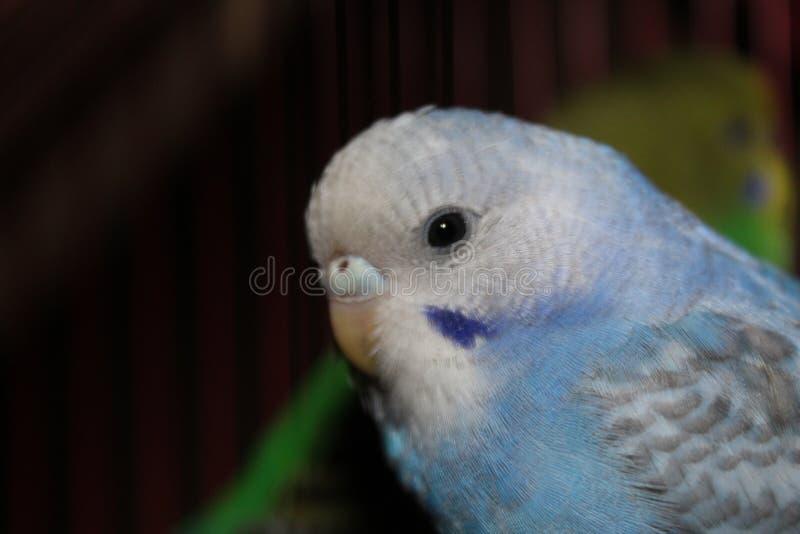Lovebird błękitny i biały Piękny lovebird zdjęcia royalty free