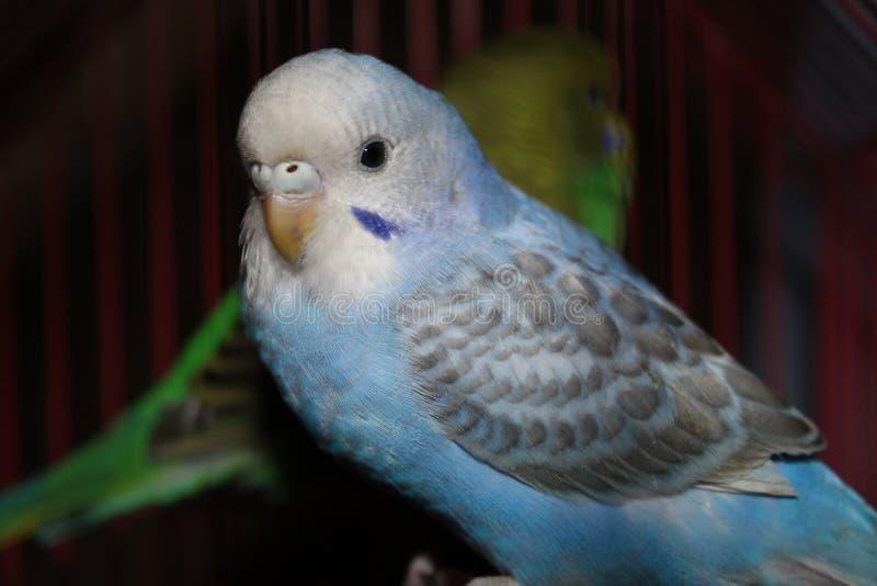 Lovebird błękitny i biały Piękny lovebird patrzeje kamerę 1 obrazy stock