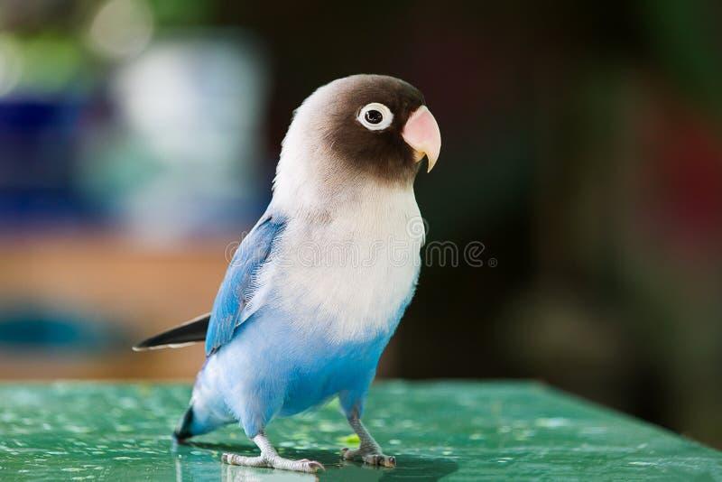 Lovebird bawić się na stole na zamazanym kuchennym tle obrazy stock