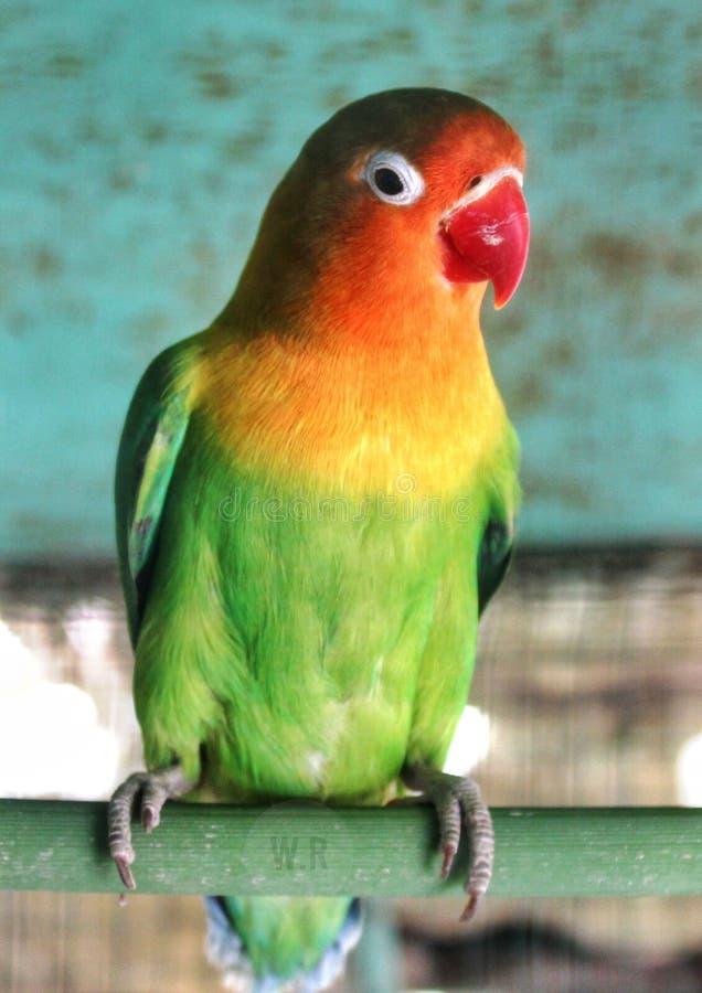 Lovebird belfra piórka papuzia czerwona zieleń piękna obrazy stock