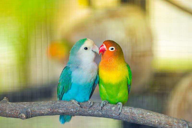 Lovebird buziak fotografia stock