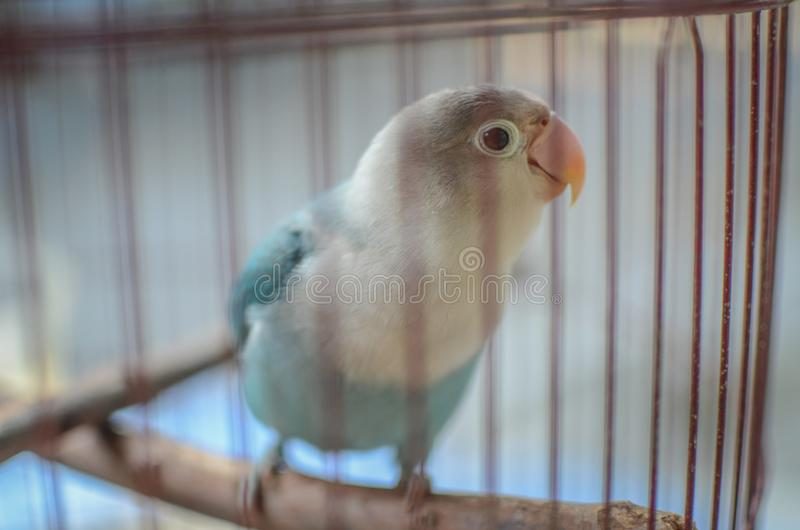 Beautiful lovebird in the cage. A lovebird is the common name of Agapornis. They are small birds. Their average lifespan is 10 to 15 years royalty free stock photos