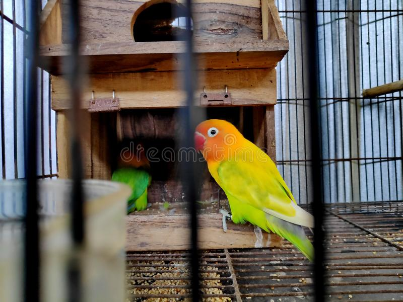 A lovebird is the common name of Agapornis a small genus of parrot stock photo