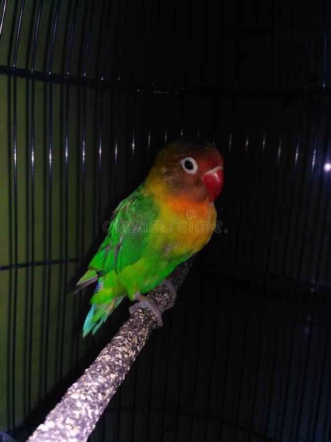 Lovebird in the dark royalty free stock image