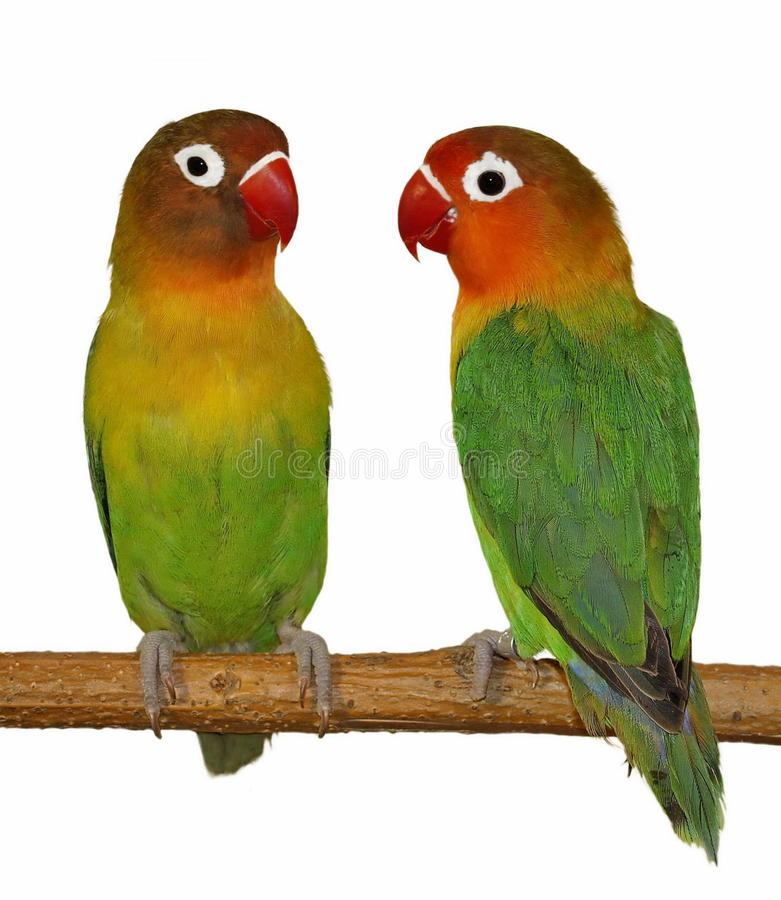 Download Lovebird isolated on white stock photo. Image of agapornis - 17190542