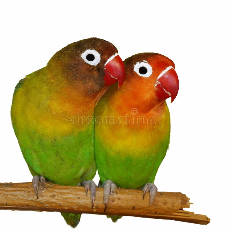 Download Lovebird Isolated On White Background Stock Photo - Image: 18449236