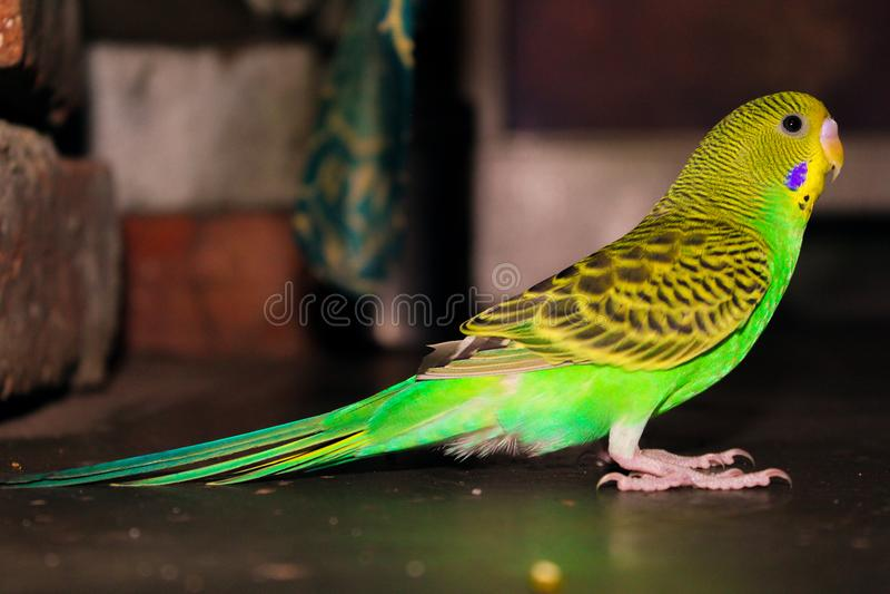 Lovebird koloru żółtego i zieleni piękny lovebird fotografia stock