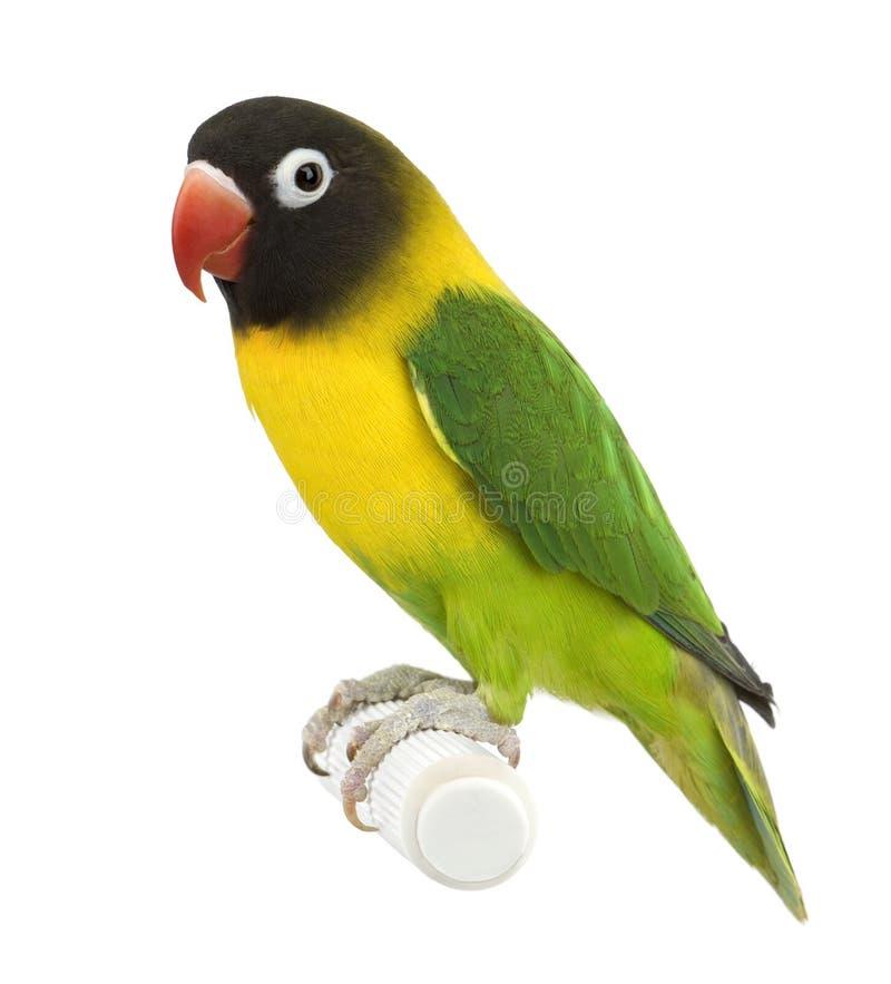 Lovebird mascarado - personata do Agapornis fotos de stock royalty free