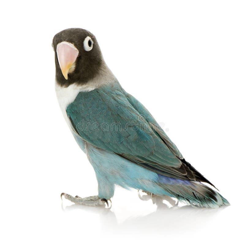 Lovebird masqué bleu - personata d'Agapornis photographie stock libre de droits