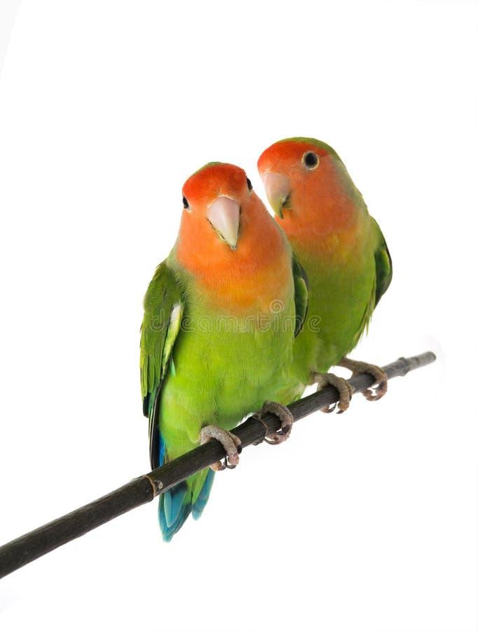 Lovebird na bielu zdjęcie stock