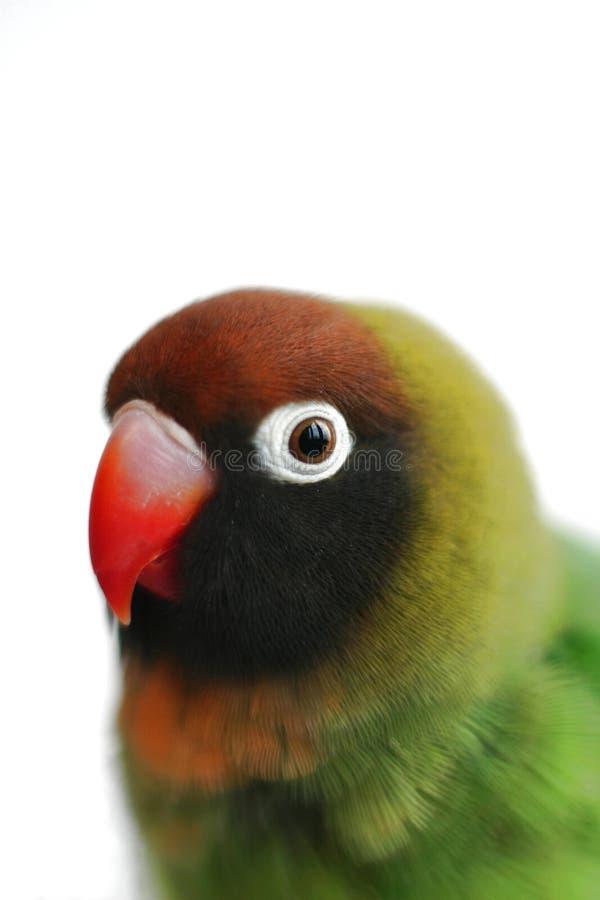 Lovebird (Nahaufnahme eines Papageien) stockbilder