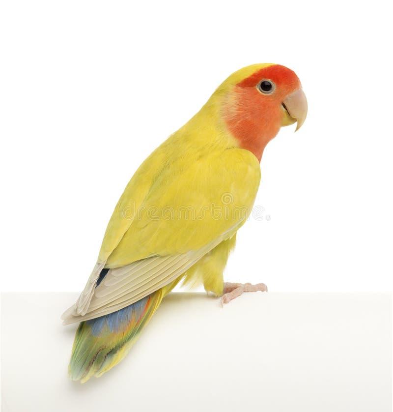 Lovebird Ottimistico-affrontato, roseicollis del Agapornis immagine stock libera da diritti