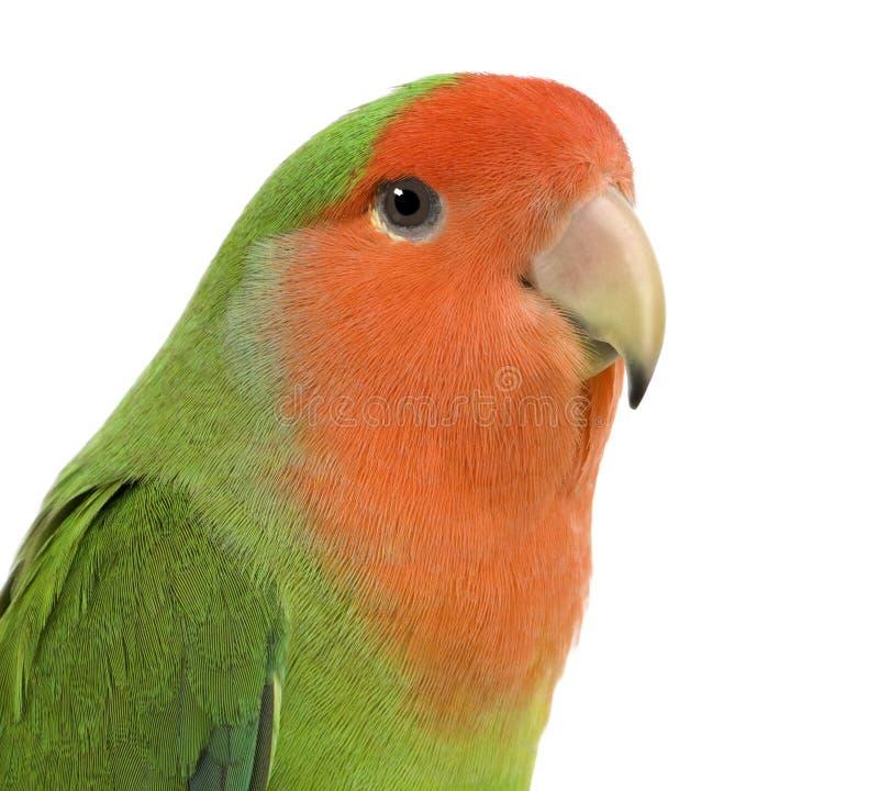 Lovebird Pêssego-enfrentado fotografia de stock