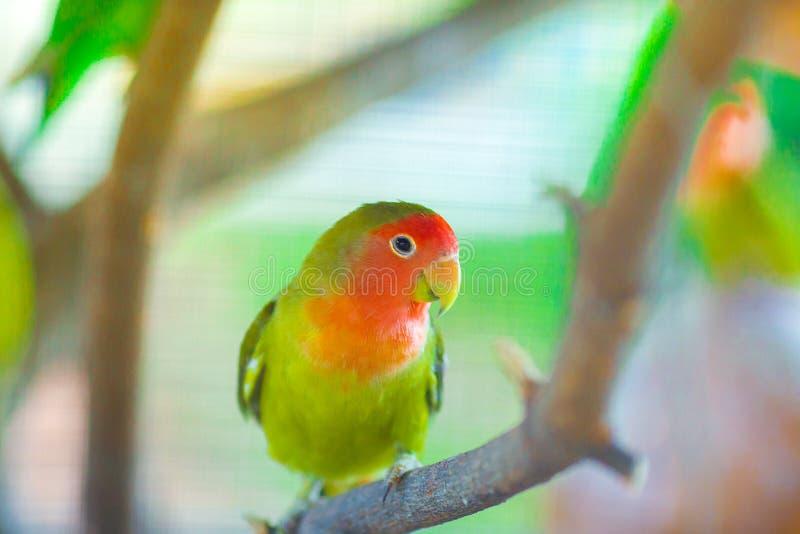 Lovebird papugi siedzi na gałąź obrazy stock